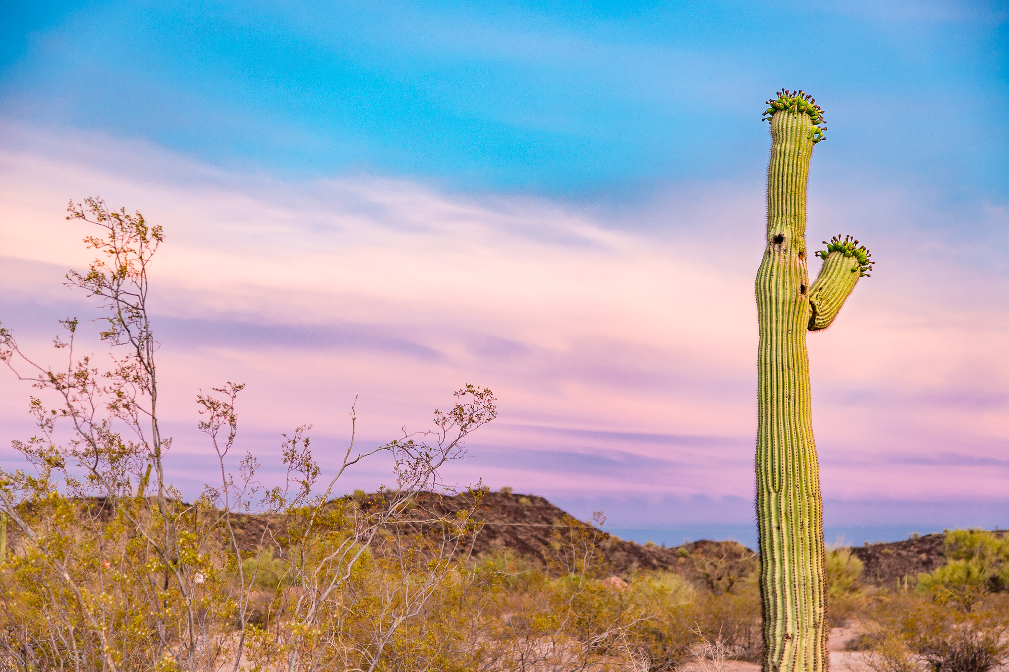 A saguaro cactus in arizona at sunset.