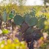 Del Rio Cactus in bloom