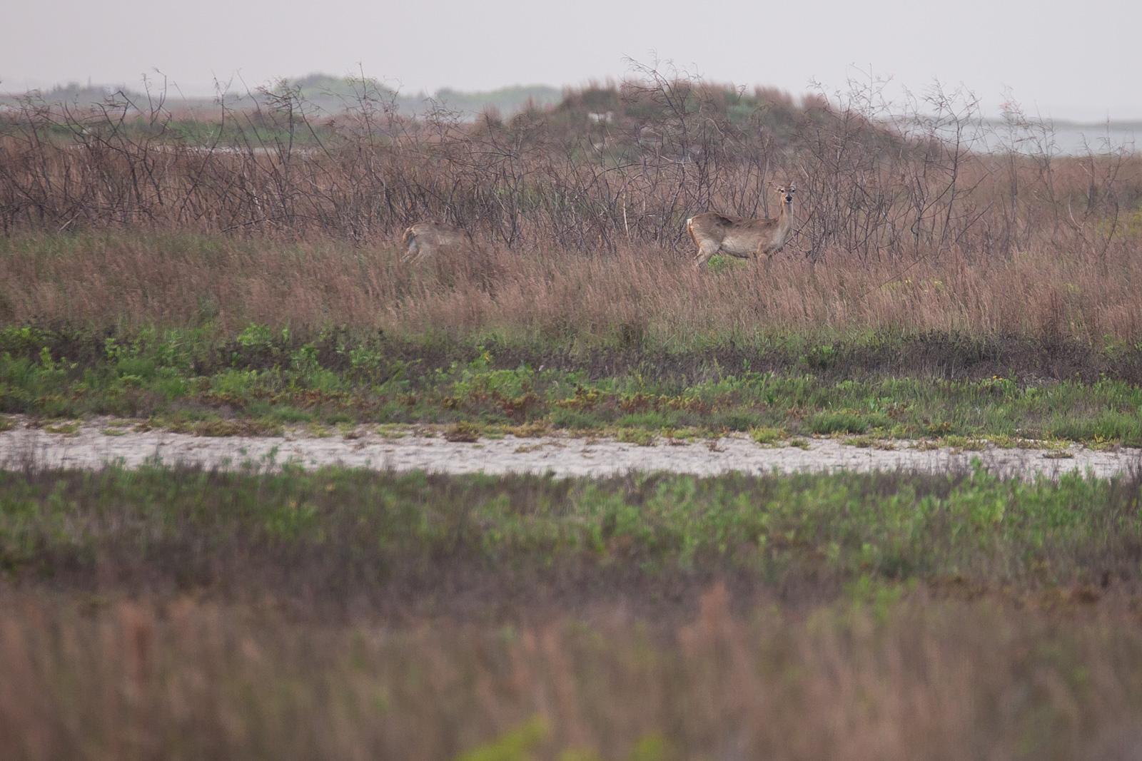 Bird Island Basin Deer