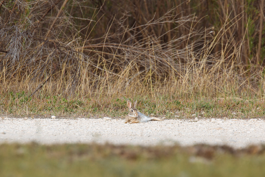 Cottontail resting